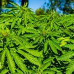 Grow marijuana commercially
